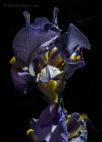 1 Sunday Irises