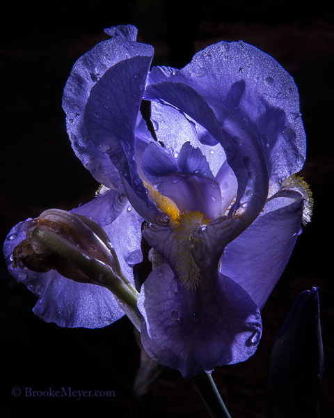 3 Sunday Irises